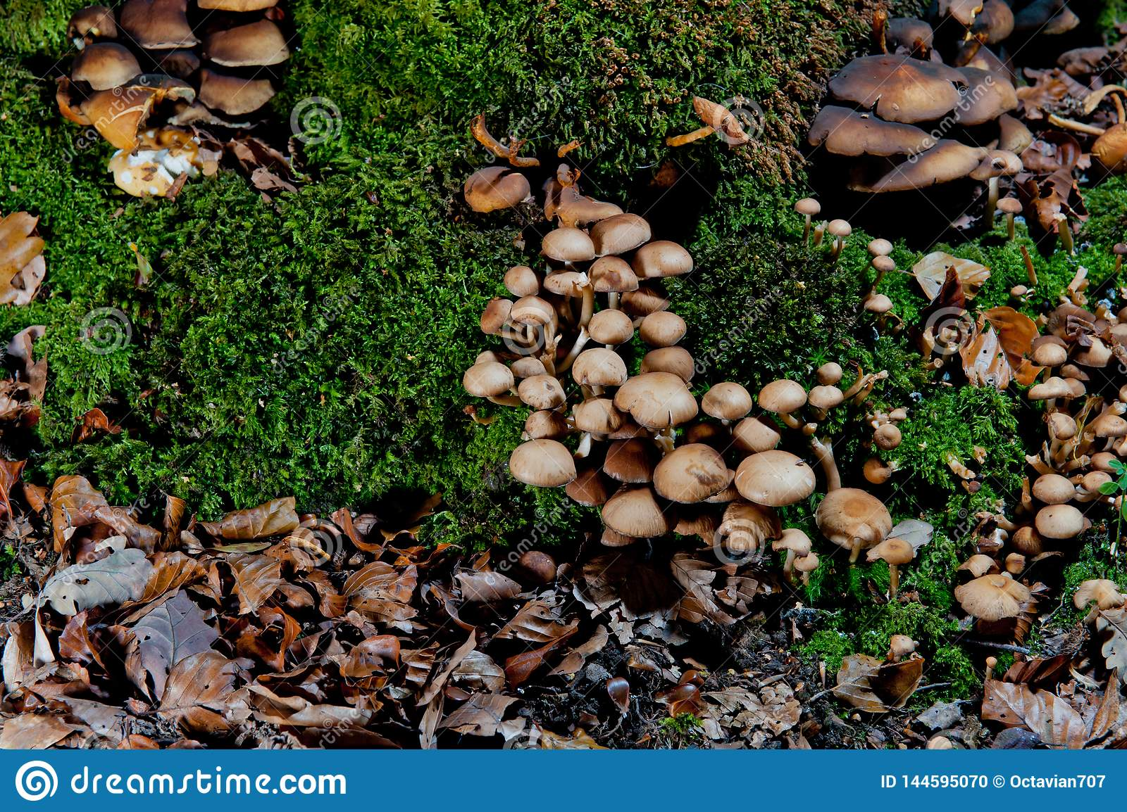 Groups of brown mushrooms on moss in forest