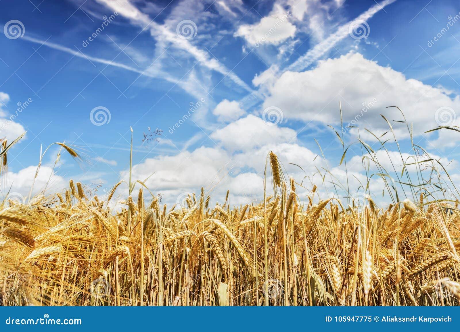 Grova spikar av moget vete mot den blåa himlen Skördfokusbegrepp
