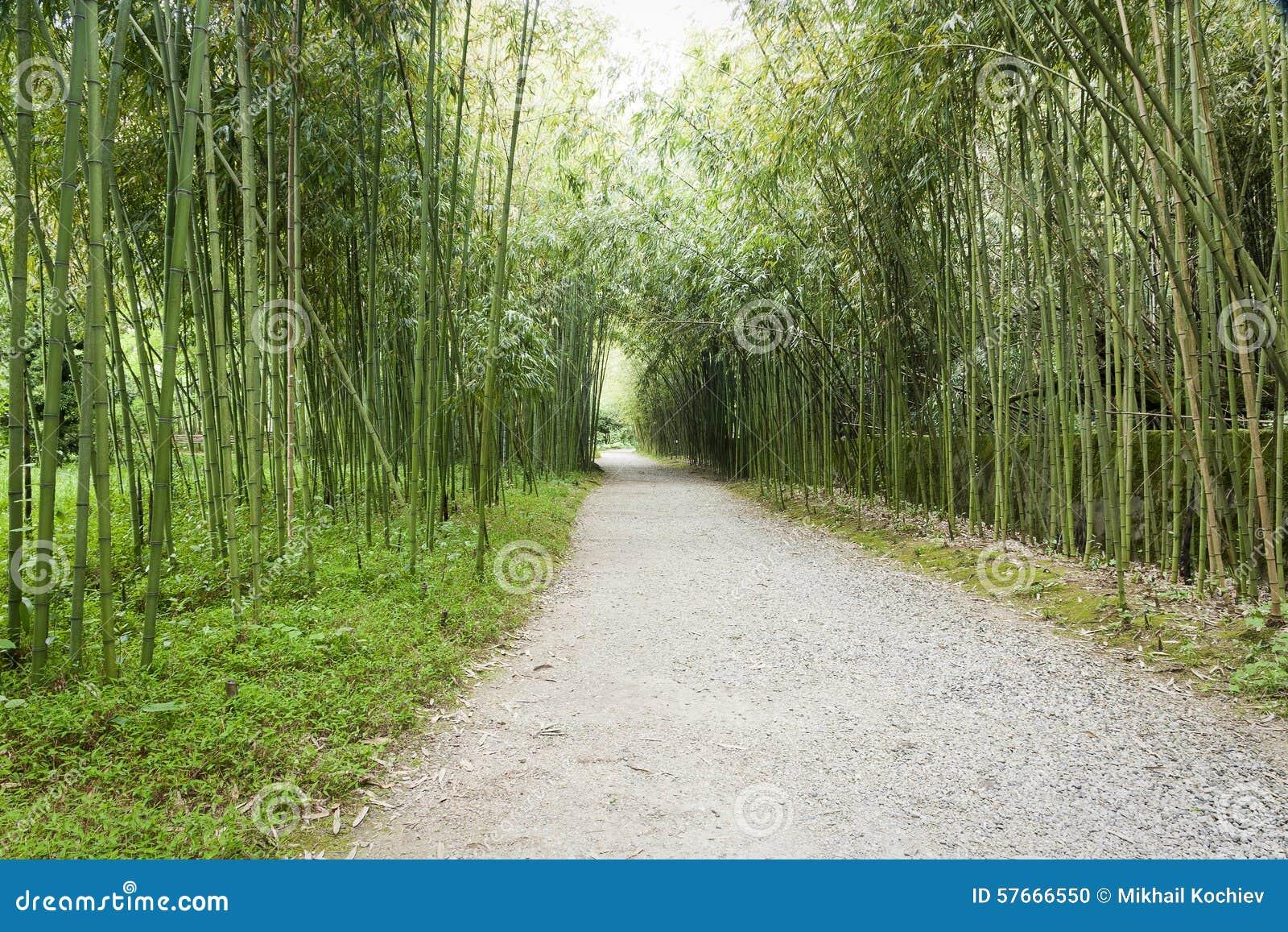 Grove bambusowego wysoki jpg rezolucji