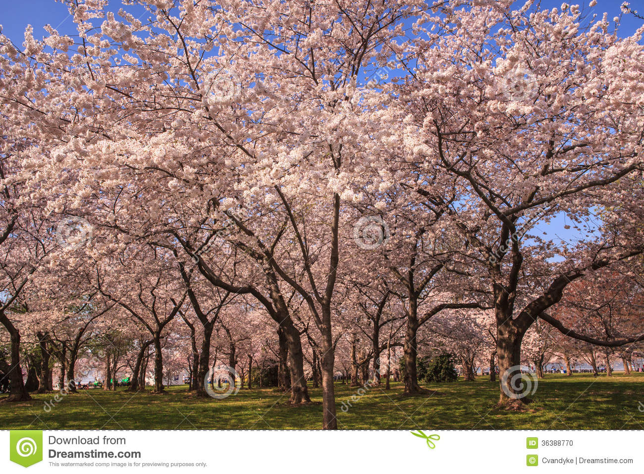 Grove Of Cherry Trees In Washington Dc Stock Photo Image