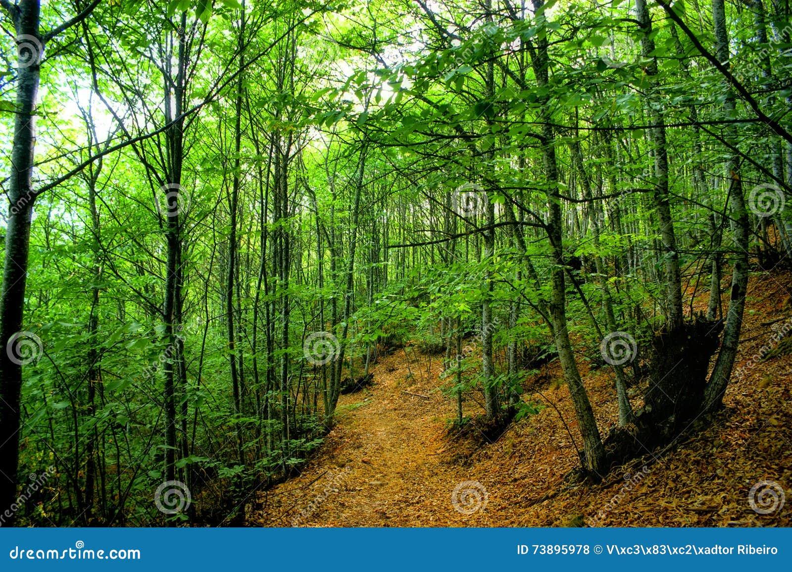 Grove of chestnut trees in Las Medulas