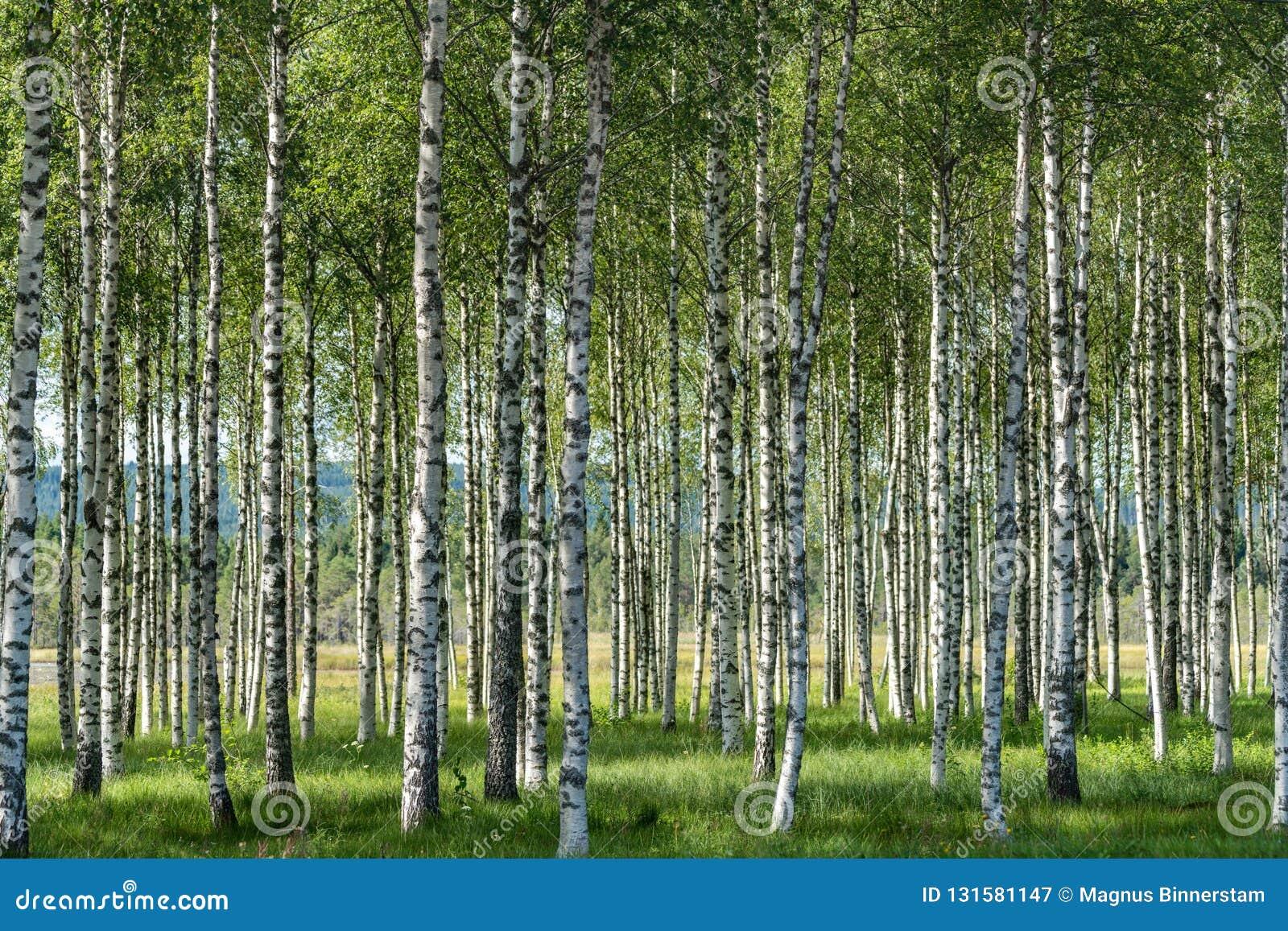 Grove von Suppengrün im Sommer mit Schwarzweiss-Stämmen, grünen Blättern und grünem Gras auf dem Waldboden
