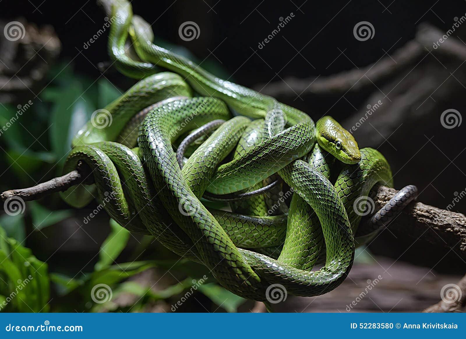 Groviglio dei serpenti verdi