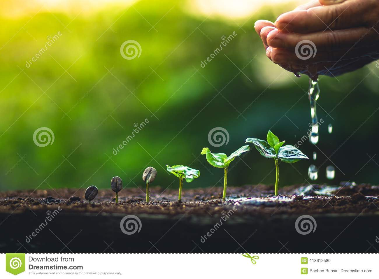 Grow coffee beans Plant coffee tree Hand care and watering the trees Evening light in nature