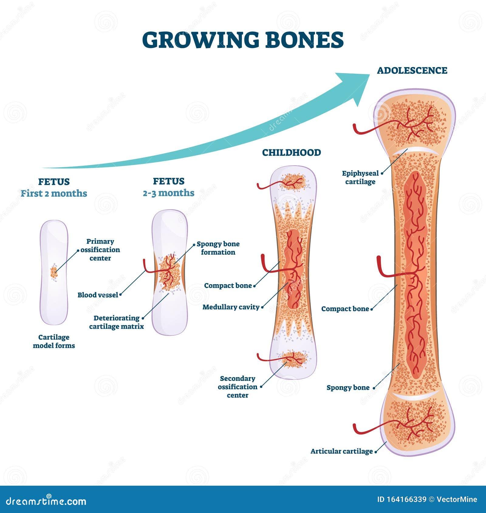 Growing Bones Vector Illustration. Educational Fetus And ...
