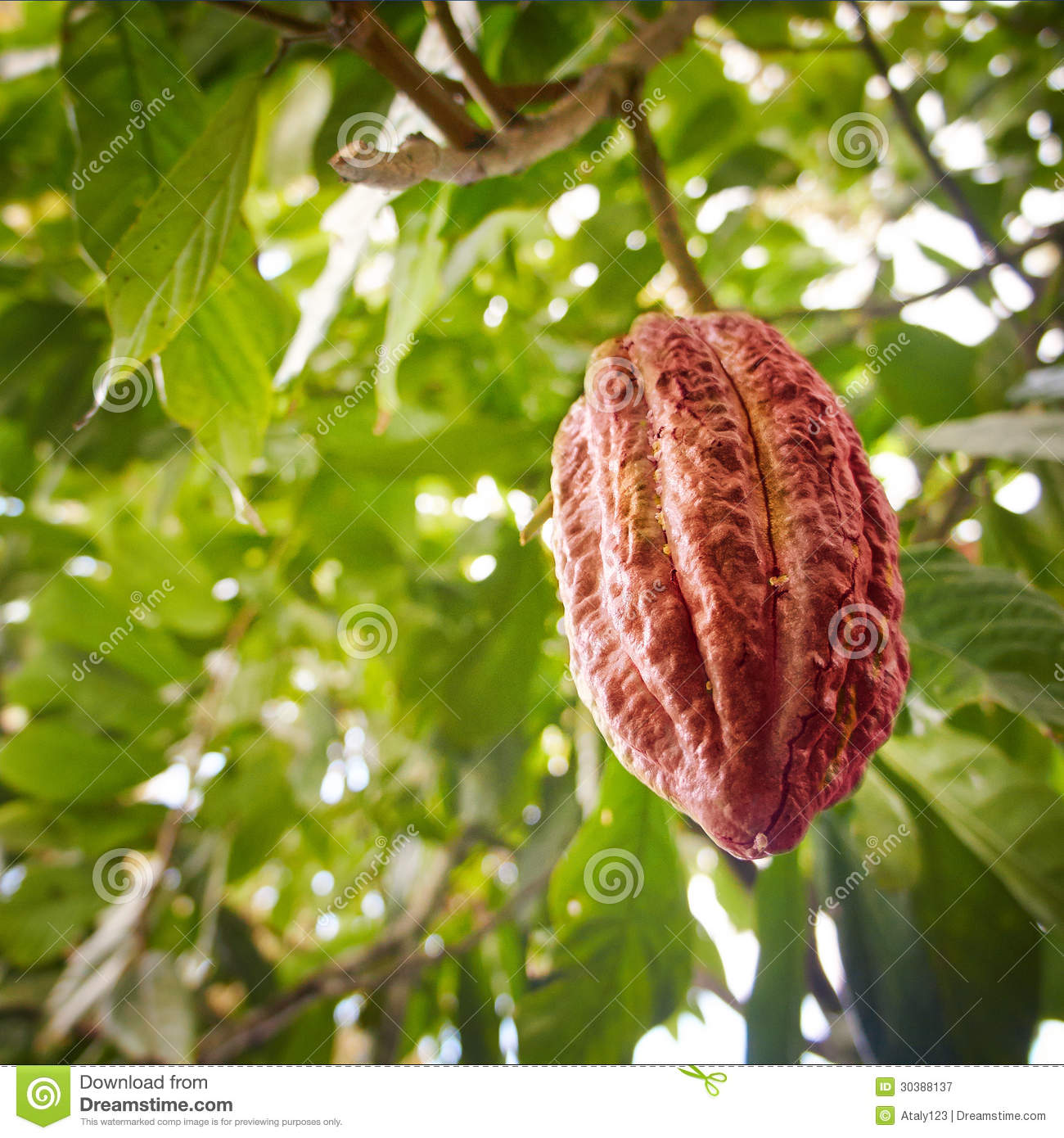 Growing Cocoa Bean Stock Image. Image Of Cultivation