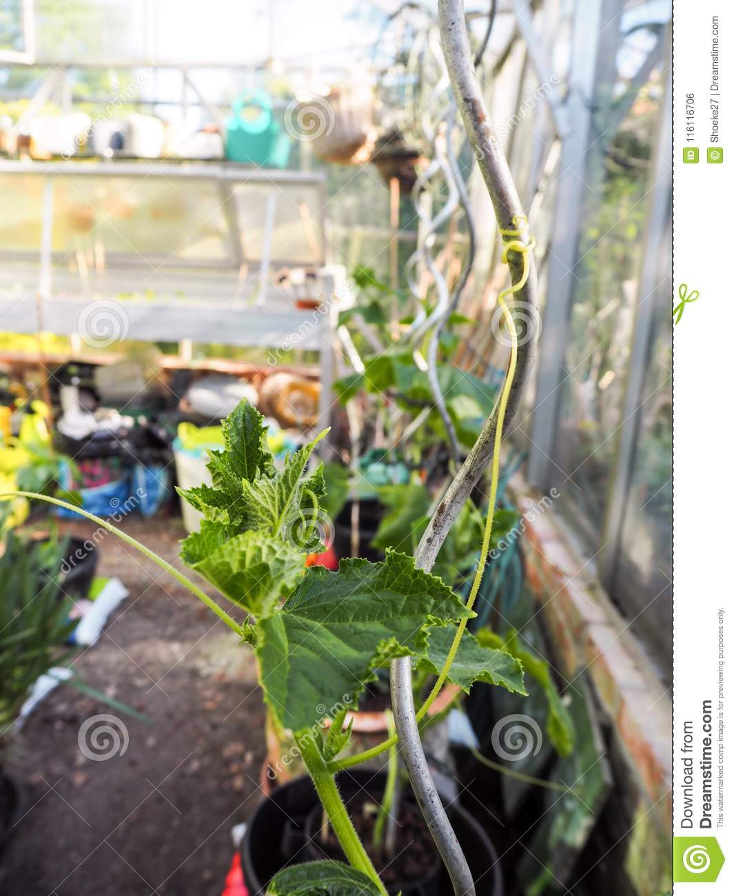 Prime Growing Cucumber Plants At Home In A Small Greenhouse Stock Interior Design Ideas Philsoteloinfo