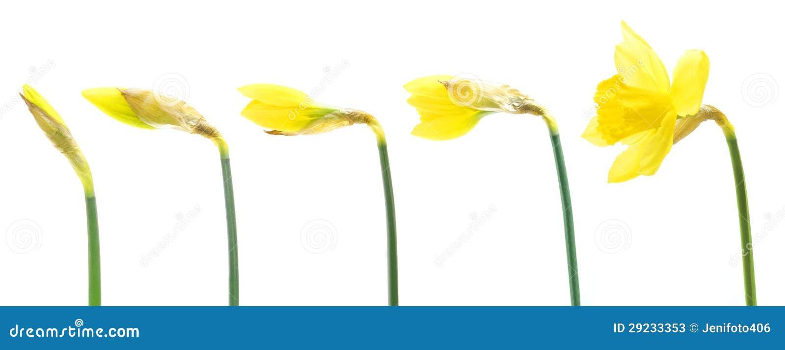 Growing Daffodils Stock Photos - Image: 29233353
