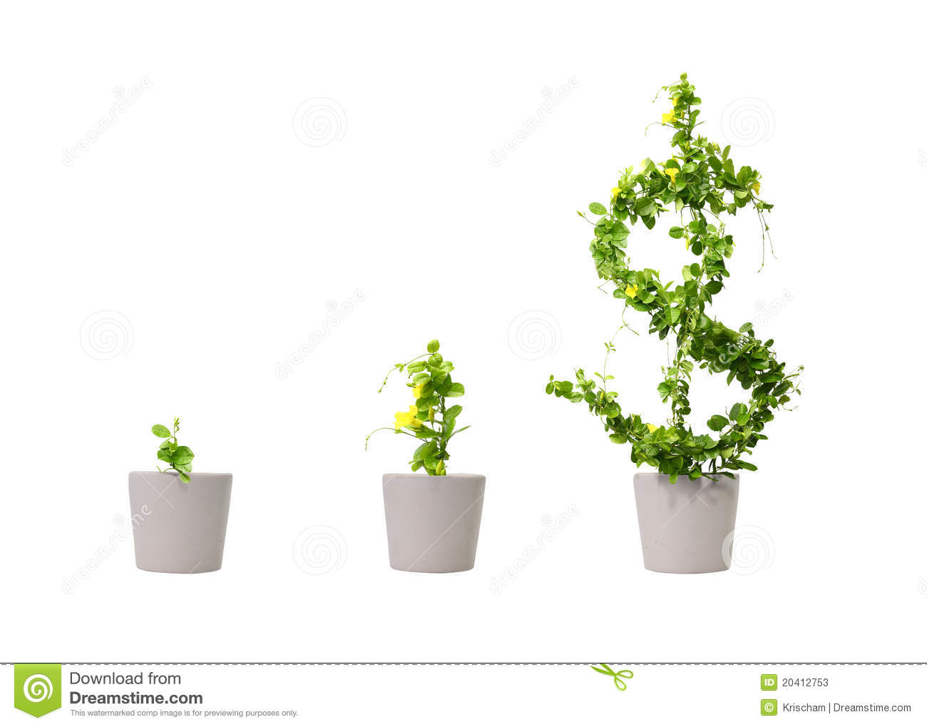 Growing dollar tree