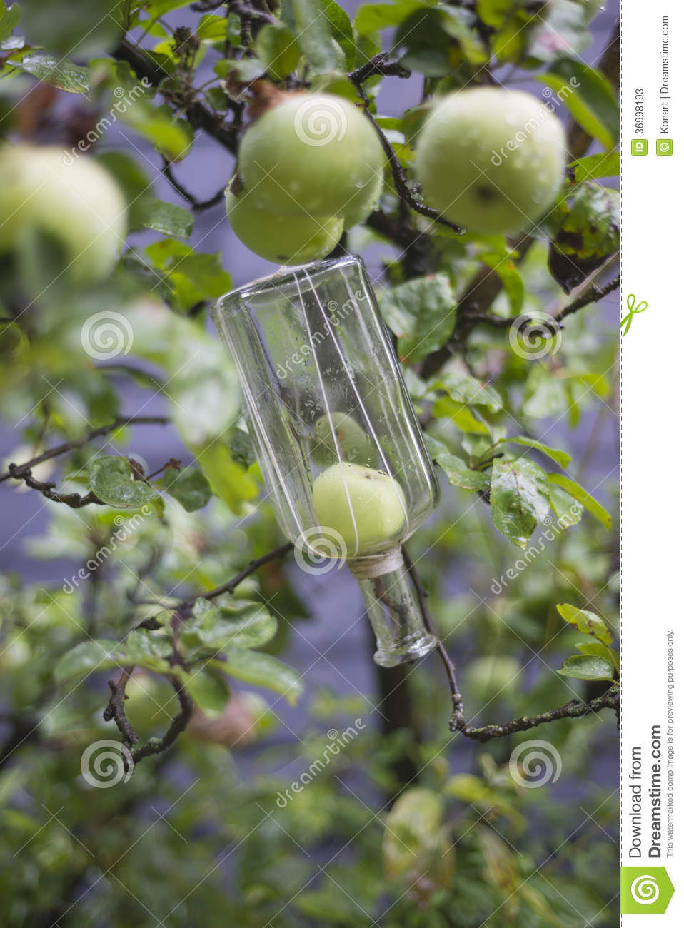Apple or pear growing inside bottle preparation for liqeur, schnapps ...