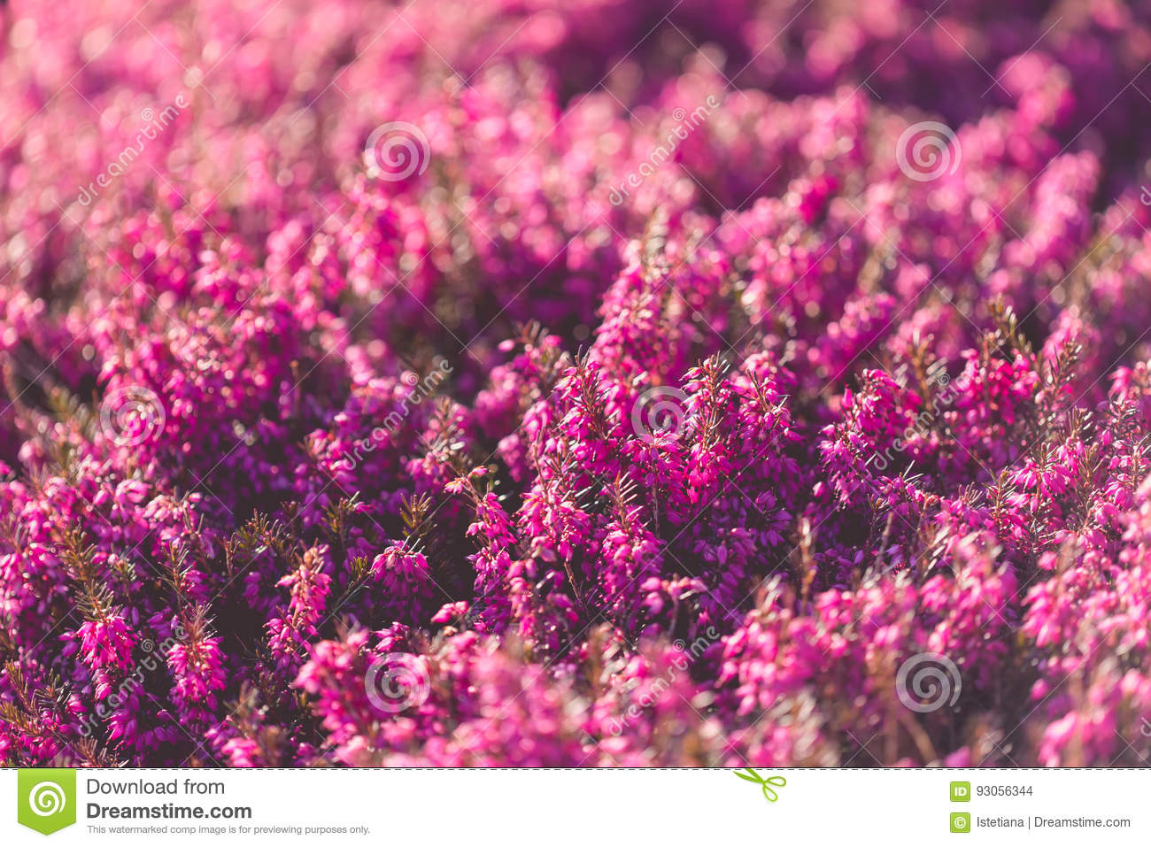 Growing Heather In Spring Garden Stock Photo Image Of Close