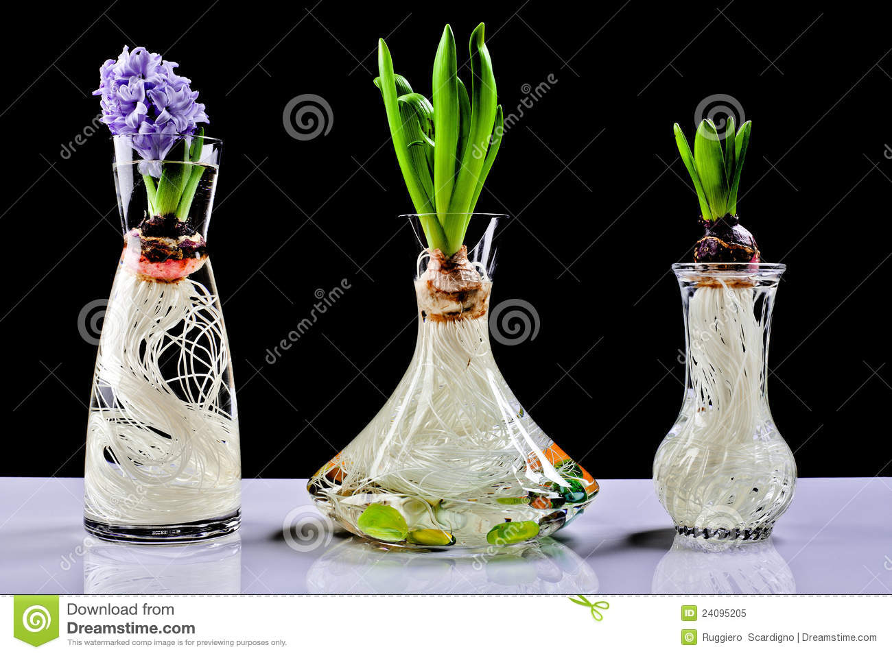 Growing Hyacinth Flower Bulb In Pot Royalty Free Stock Photo - Image: 24095205