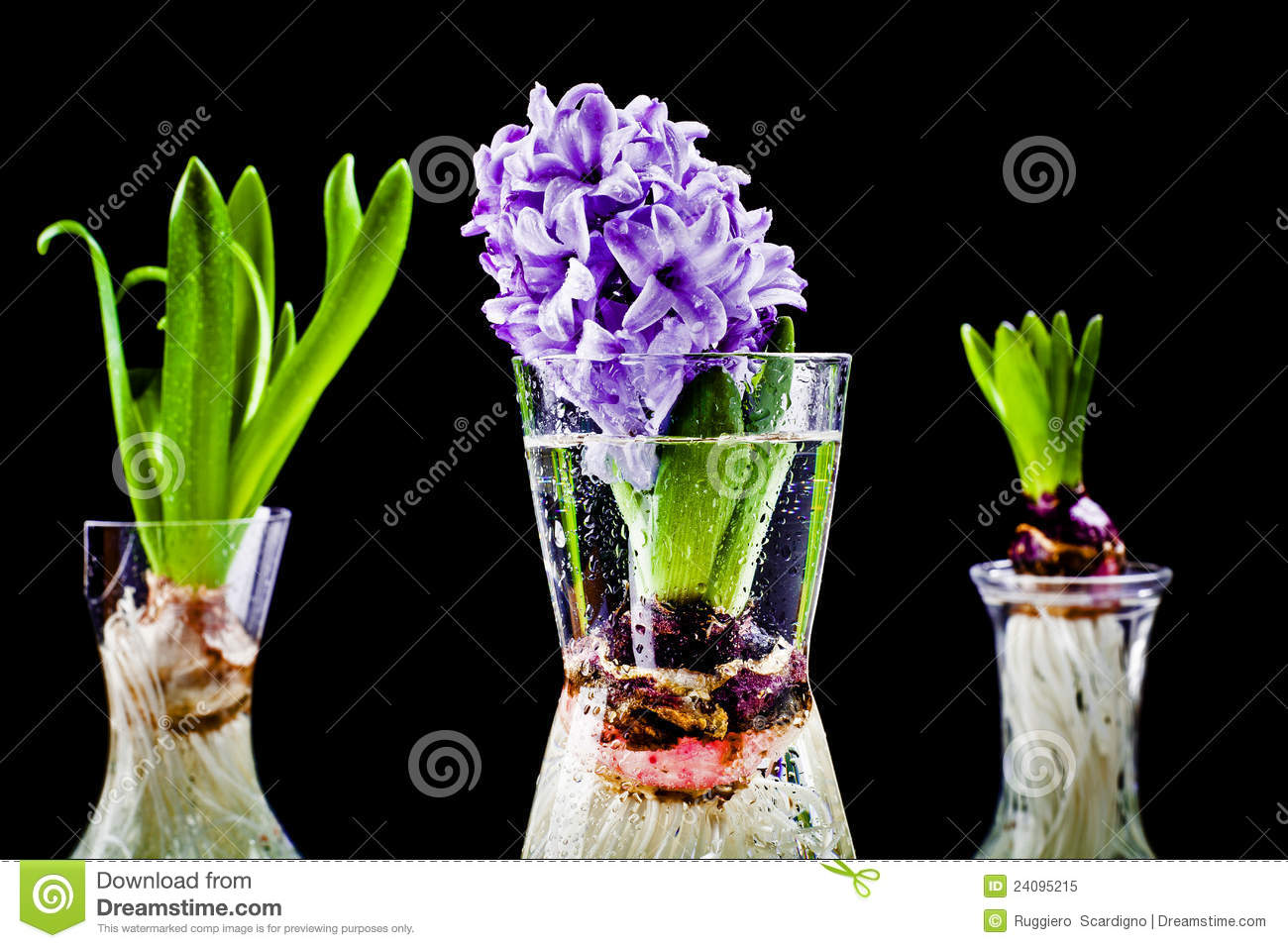 Growing Hyacinth Flower Bulb In Pot Royalty Free Stock Photo - Image: 24095215