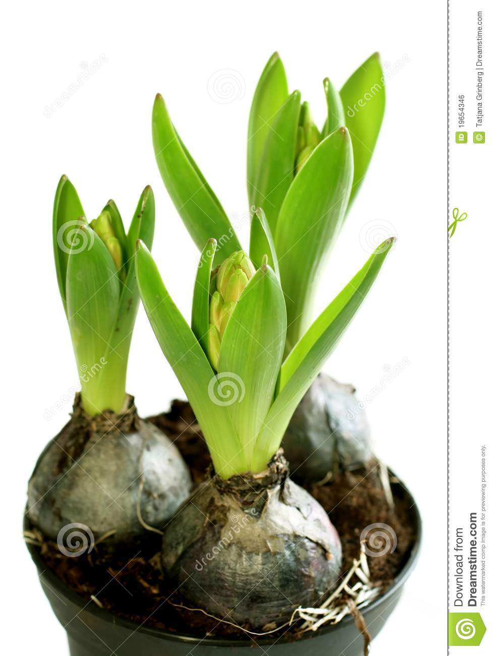 Growing hyacinth flower bulb in pot isolated stock photo image 19654346 - Planting hyacinths pots ...