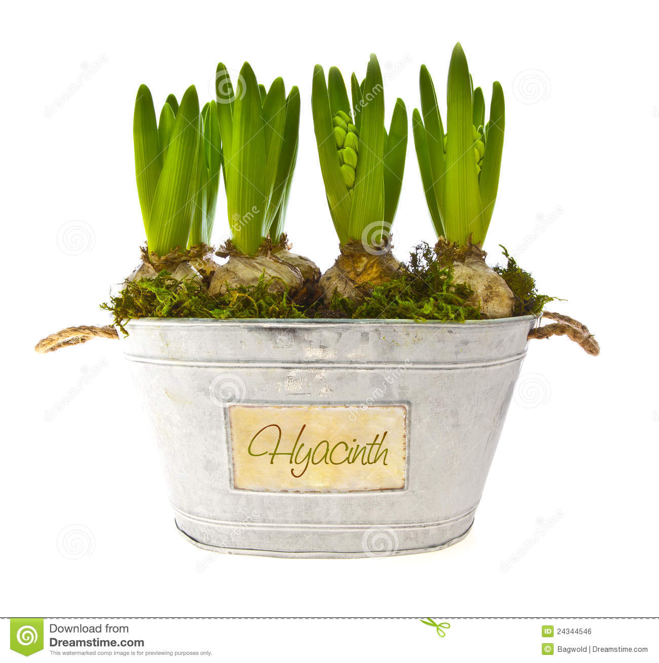 Growing hyacinth flower bulbs in pot stock photo image 24344546 - Planting hyacinths pots ...