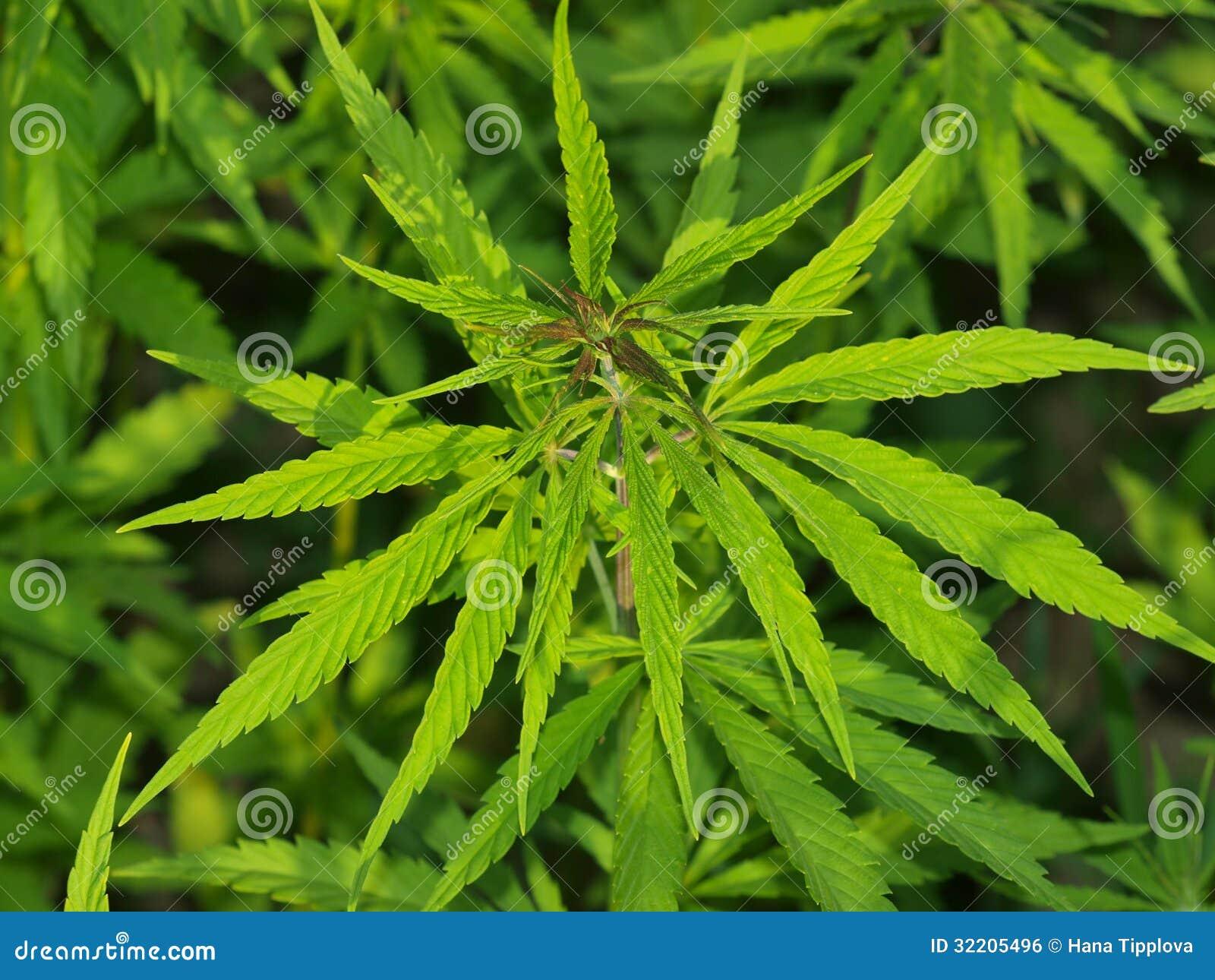 Growing industrial hemp