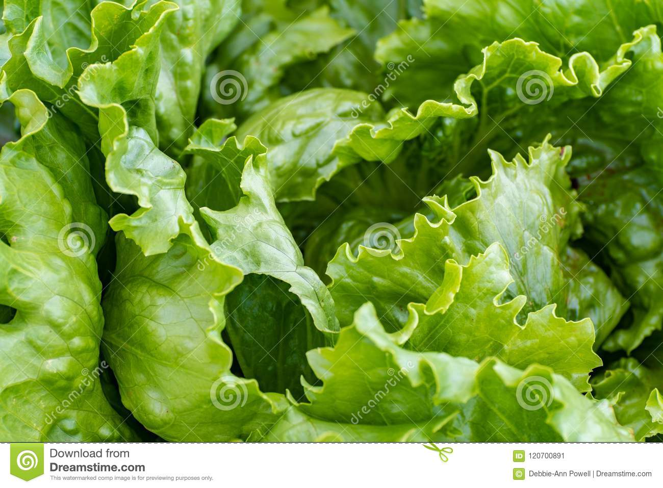 Growing lettuce head leaves up close
