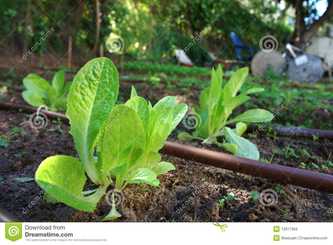 Growing lettuce plants in a home garden royalty free stock for Home garden plants