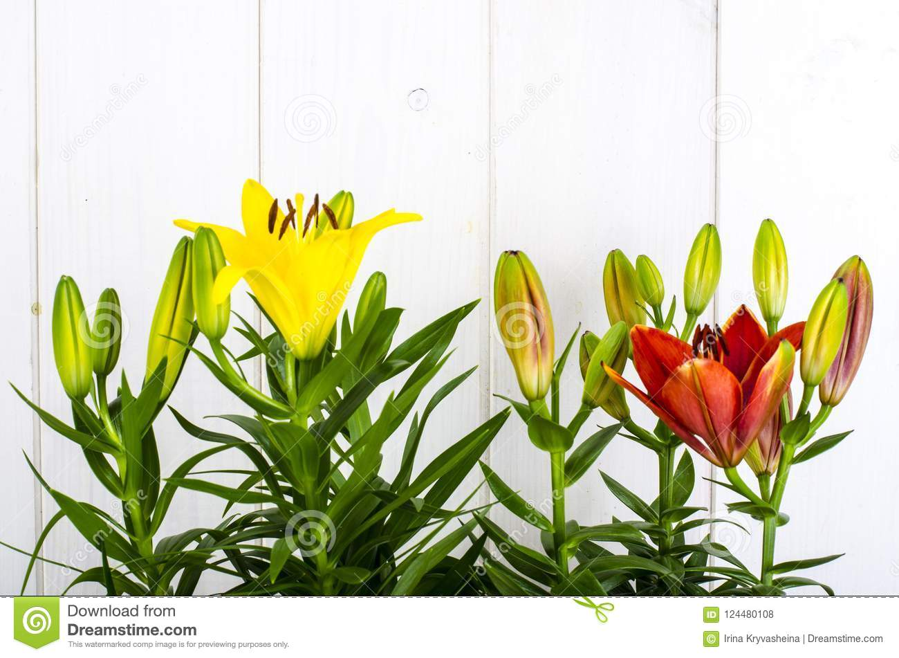 Growing Of Lilies In Containers Stock Photo Image Of Flowerpot