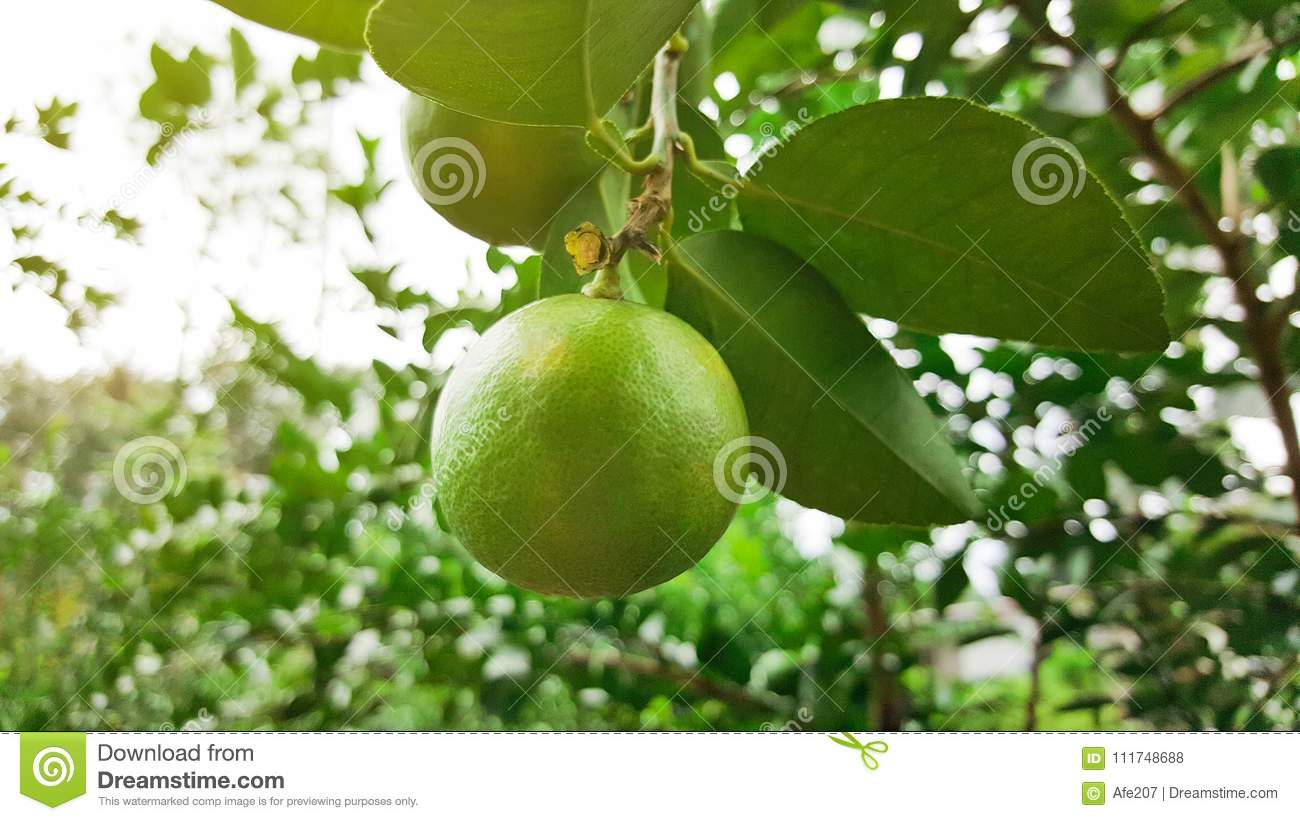 download growing lime in garden stock photo image of citrus 111748688 - Garden Lime