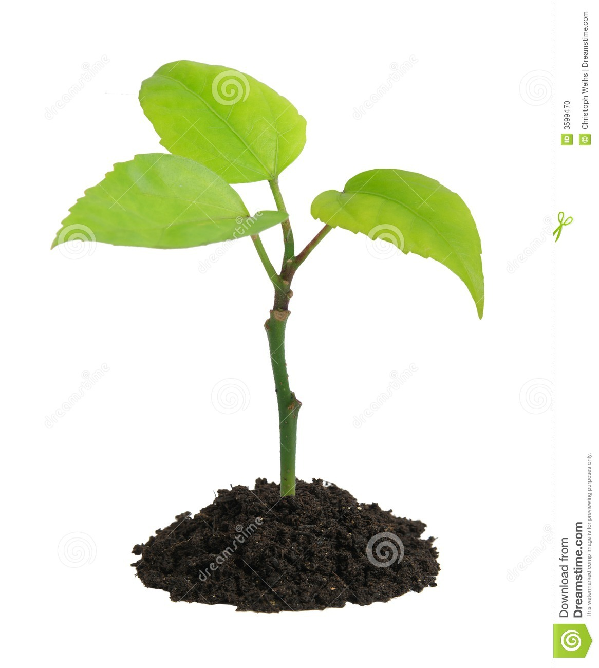 Growing Plant Stock Photo Image Of Branch Dirt Isolated