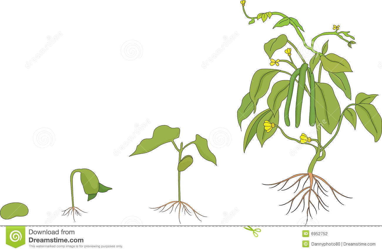 Illustration showing the growing stages of a plant.