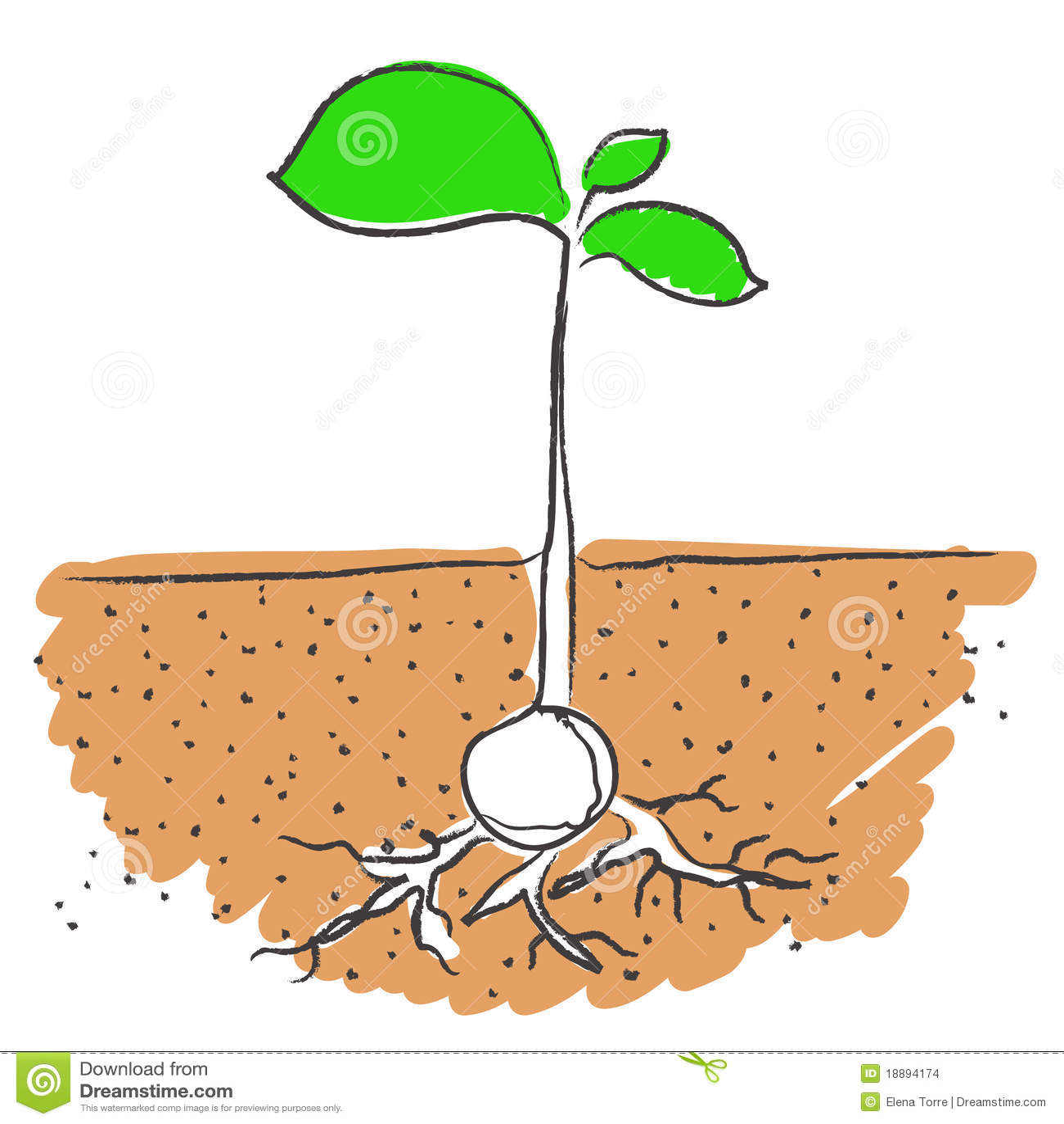 how to grow pistachio root stock