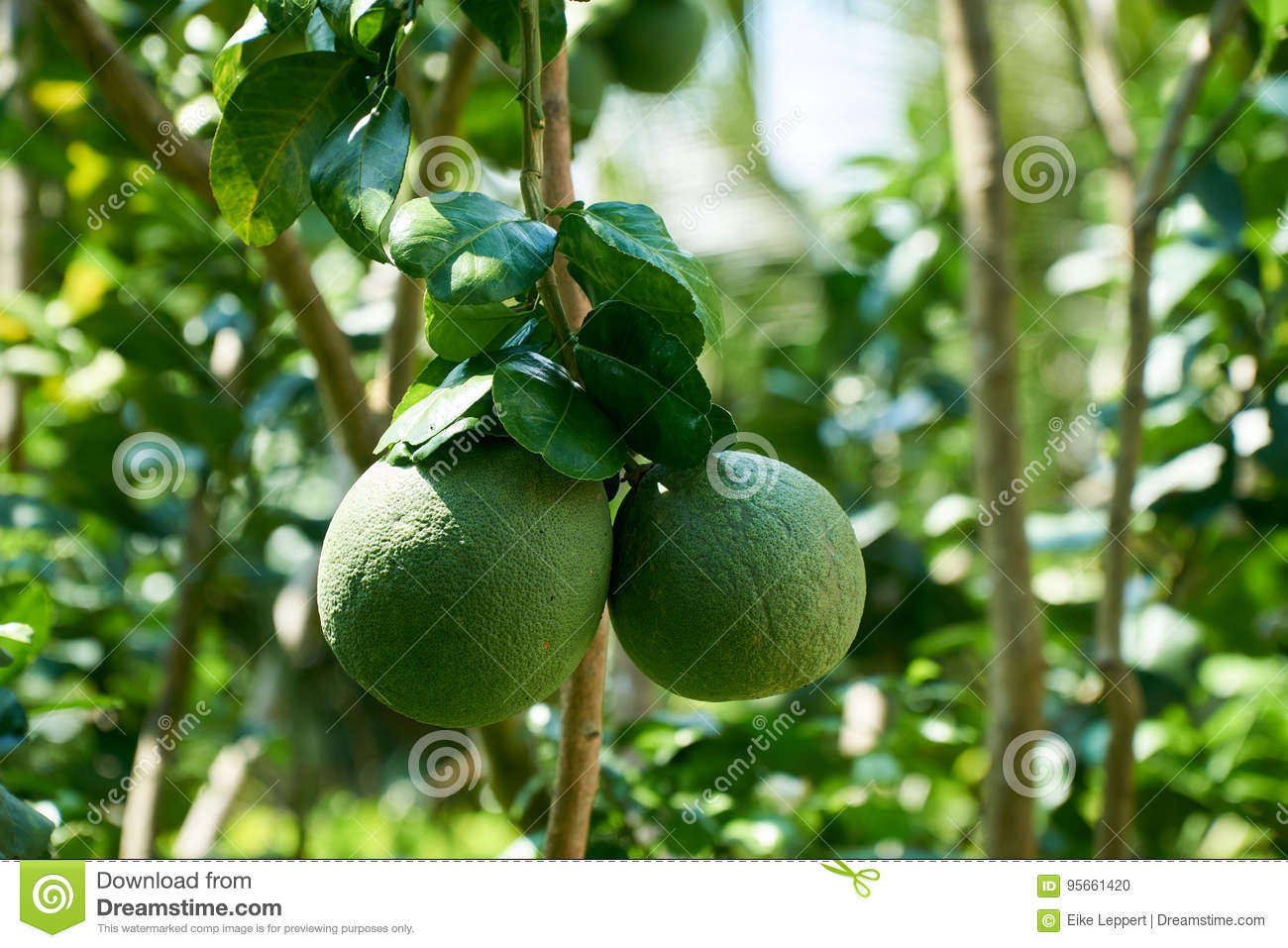 How grows pomelo