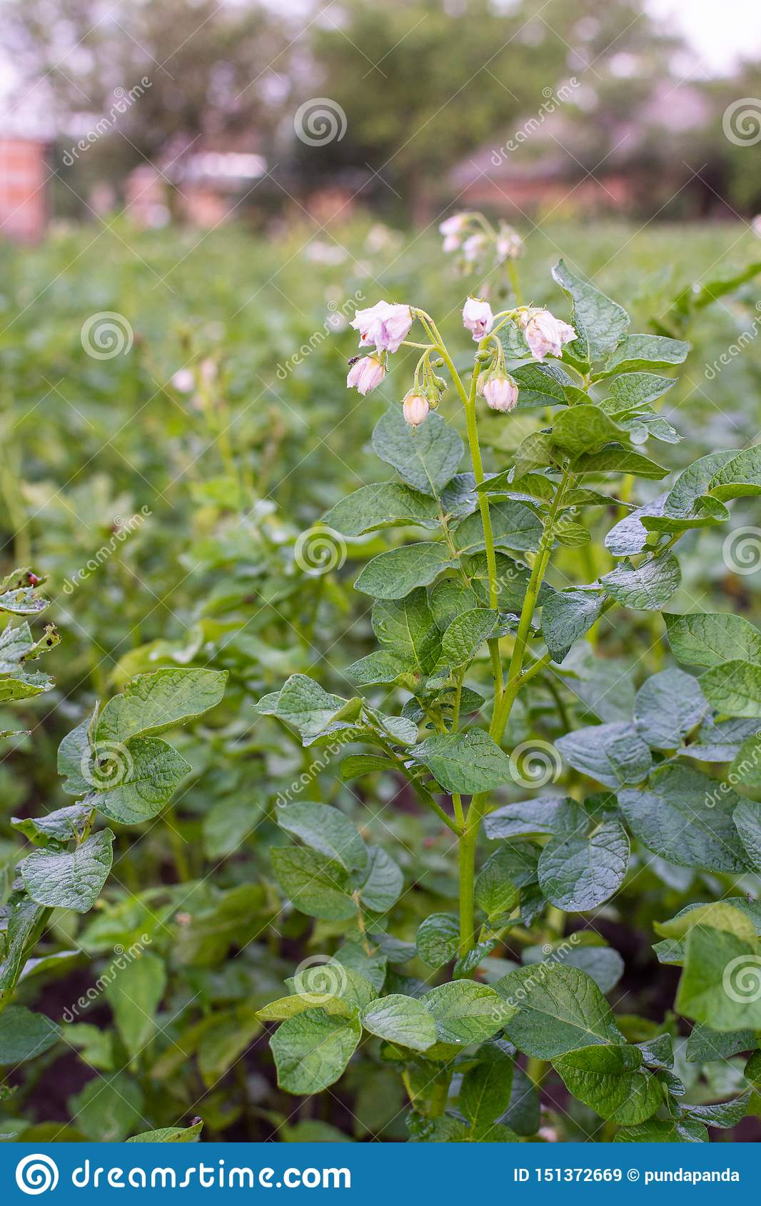 Green leaves of potato with inflorescence