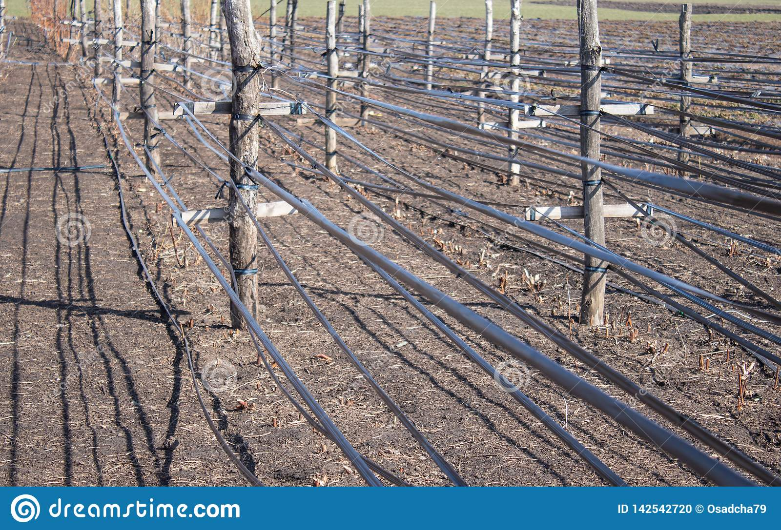 Growing raspberries in rows, care for raspberry bushes