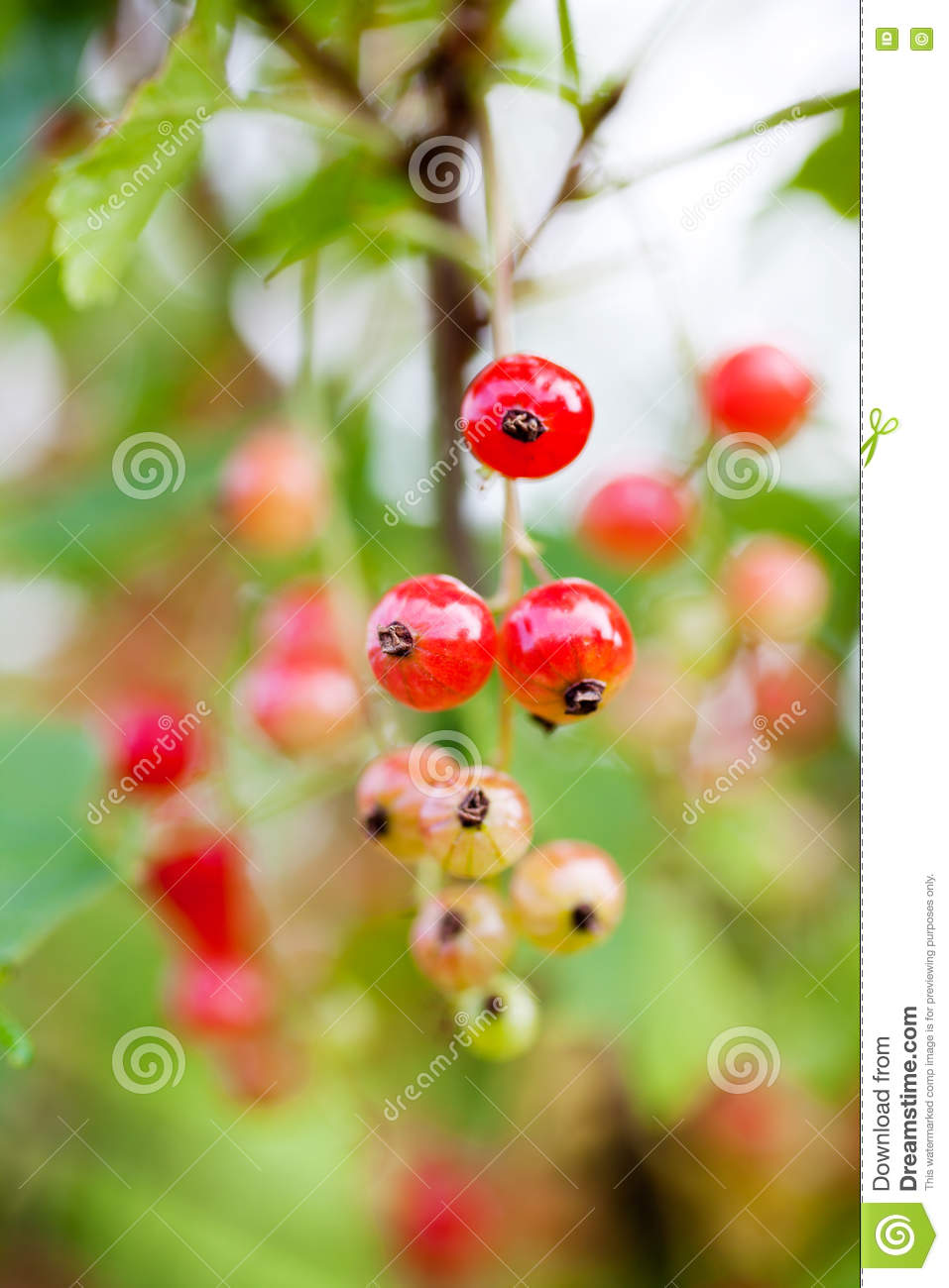 how to grow red currant from seeds