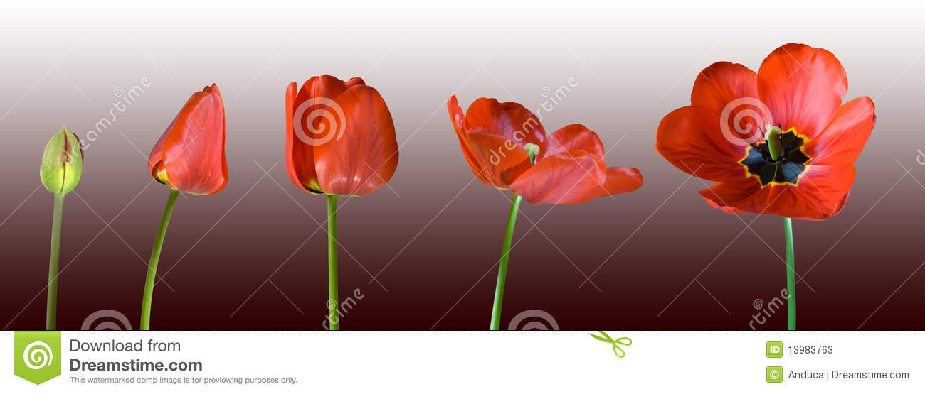 Growing red tulip