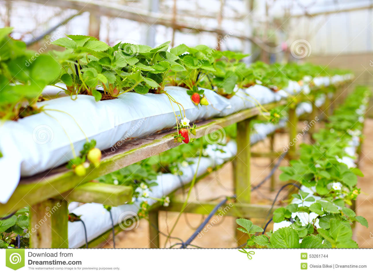 growing strawberries in a greenhouse pdf