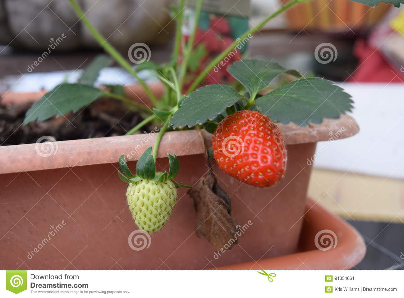 Growing strawberry from a container plant