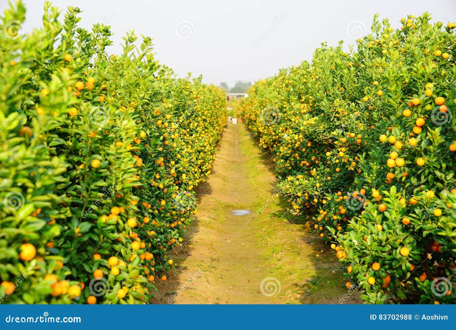 Growing Tangerines Stock Photo