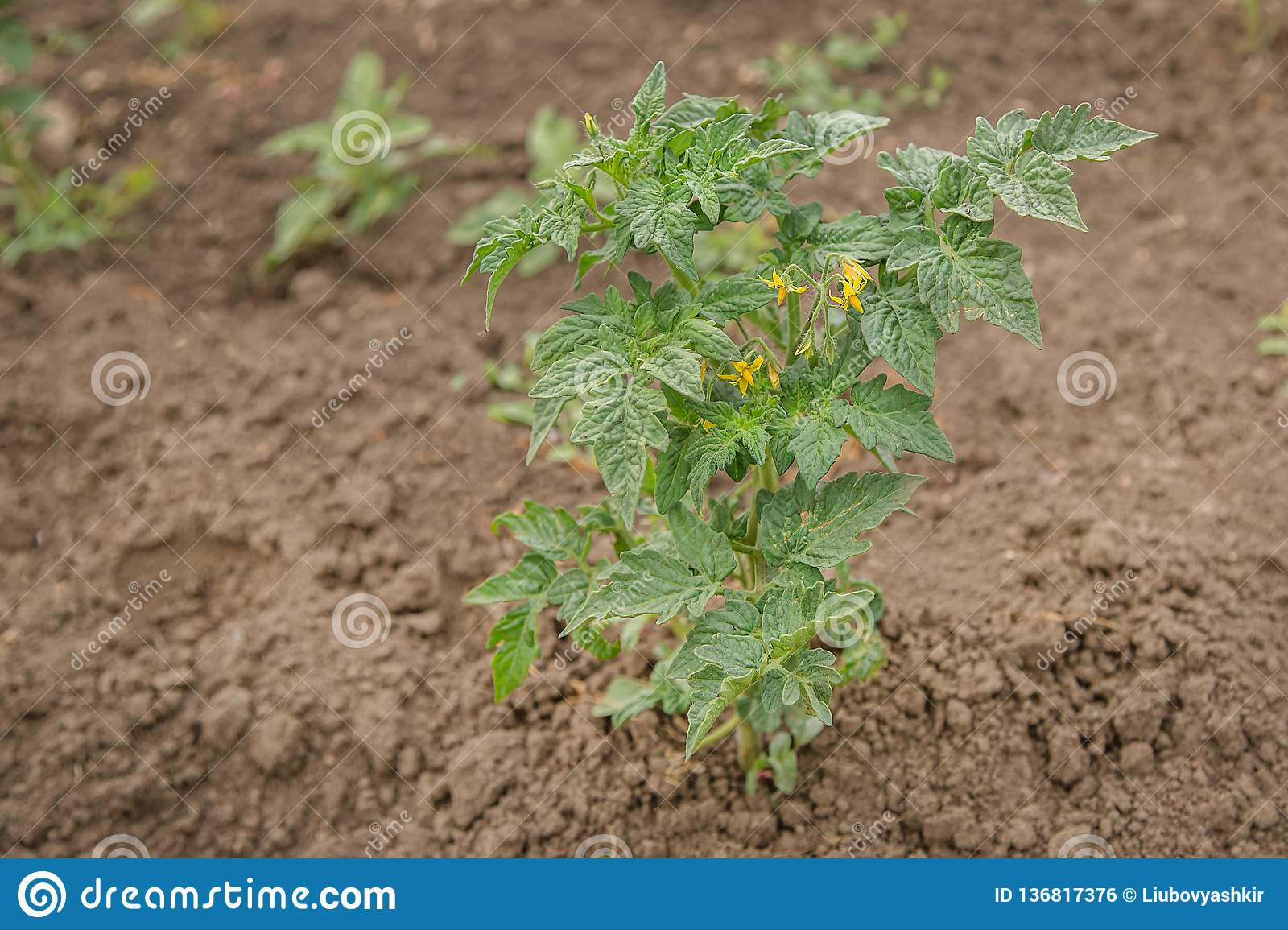 Growing Tomatoes In The Garden In The Garden Stock Photo Image