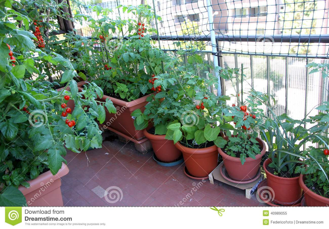 Growing Tomatoes On The Terrace Of The Apartment Building Stock Image Image 40989055