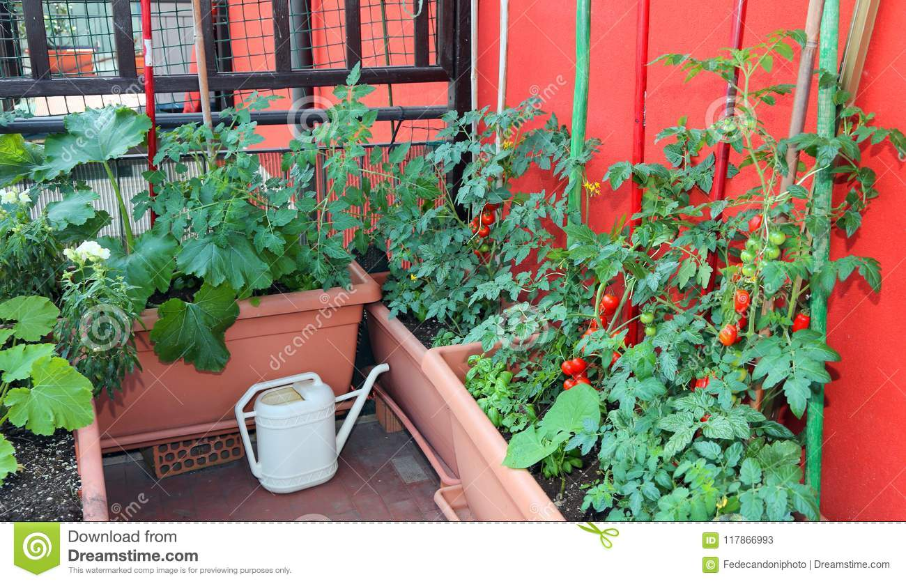 Growing Tomatoes And Zucchini In Pots On The Terrace Of The Apar