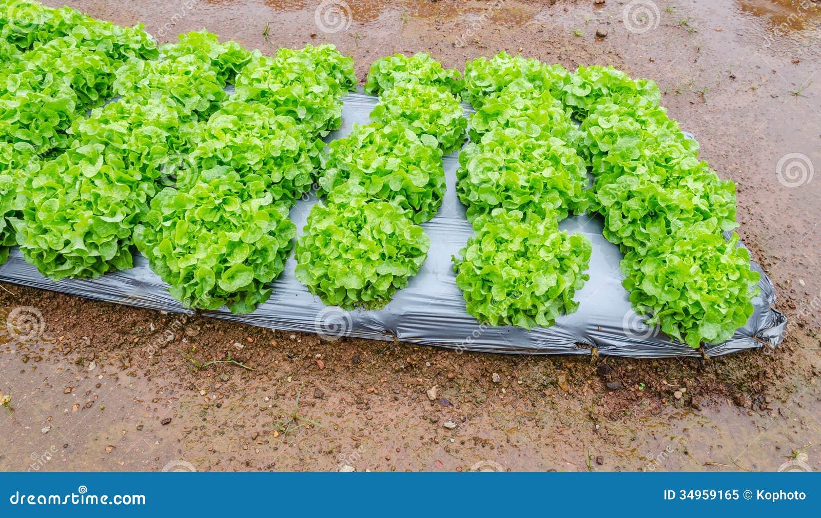 Growing Vegetable Garden Stock Image Image Of Film Bibb