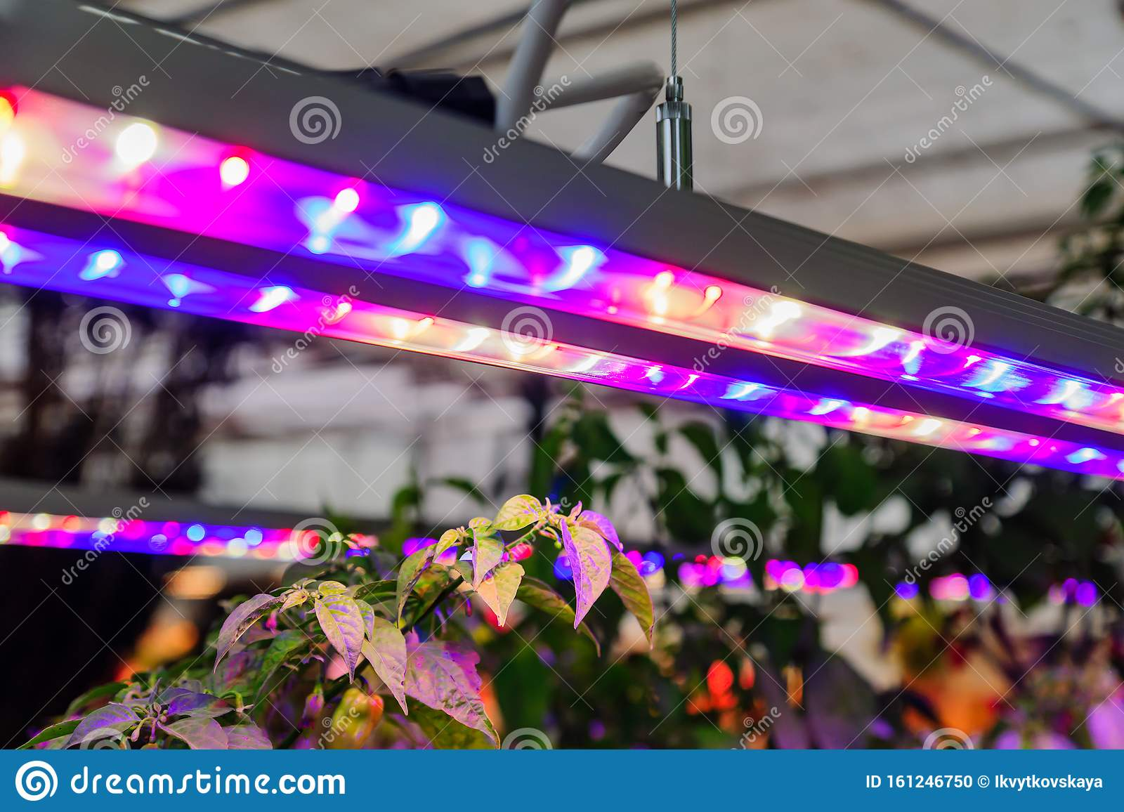 Growing Vegetables Under Led Grow Light Stock Photo Image Of
