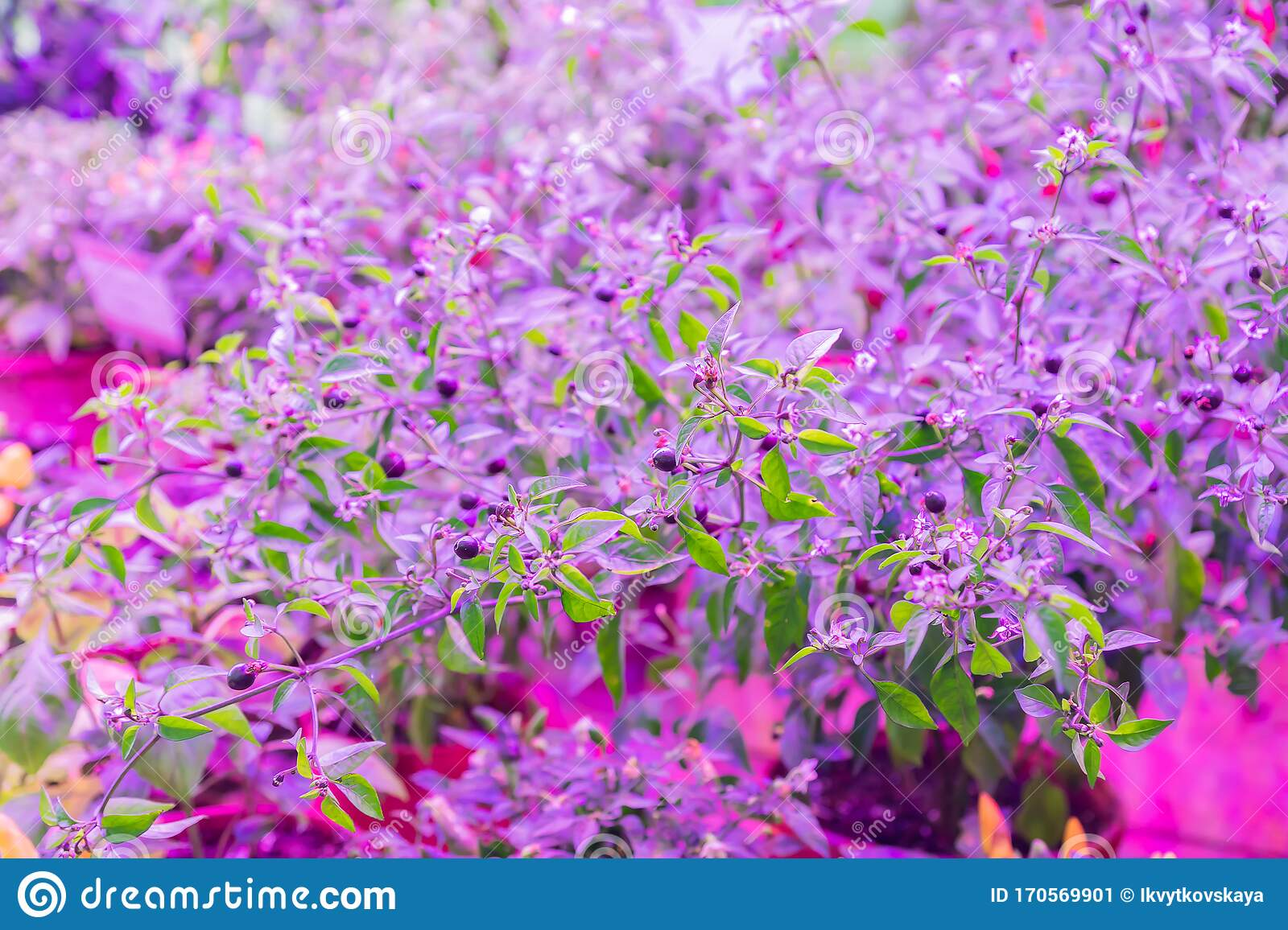 Growing Vegetables Under Led Grow Light Stock Image Image Of