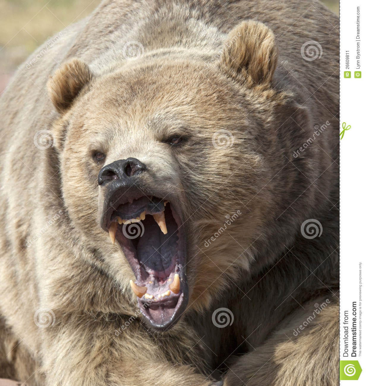 Growling Grizzly Bear Stock Image Image Of Animal Nature