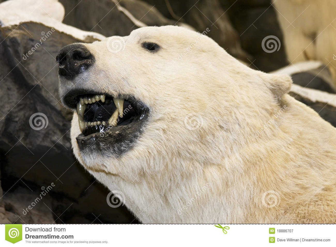 Growling Polor Bear Royalty Free Stock Photography - Image ...