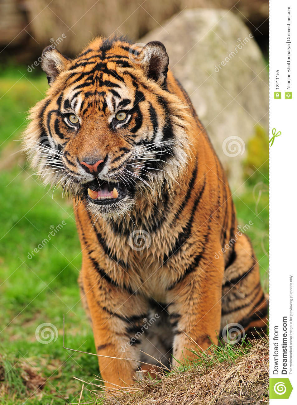 Angry tiger face close up