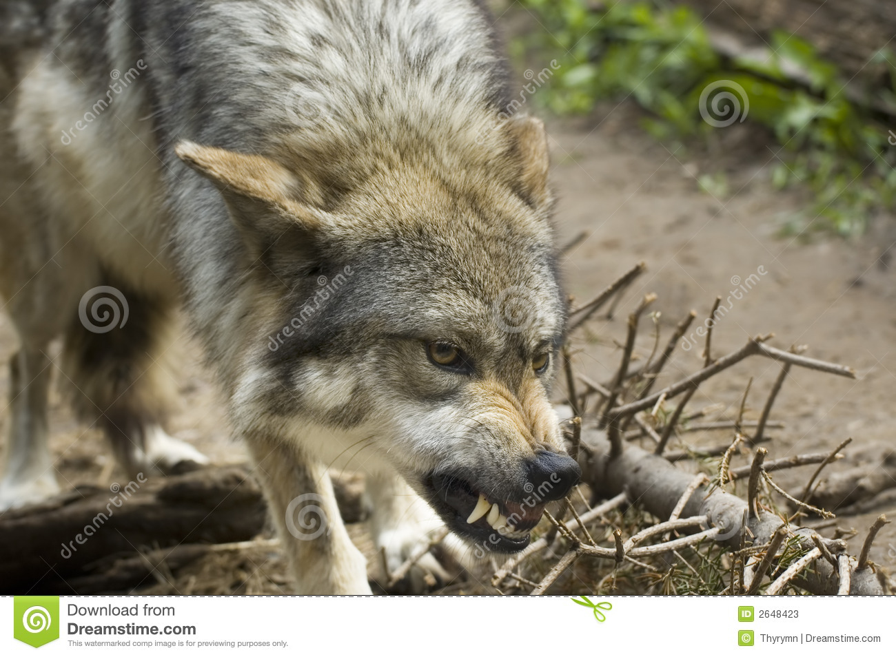 Growling Wolf Stock Image. Image Of Snarl, Teeth, Rabid