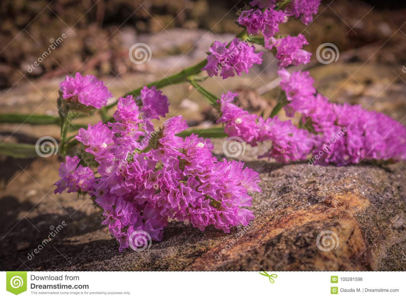 Sea lavender bouquet filler on rock wall stock photo image of download sea lavender bouquet filler on rock wall stock photo image of bouquet statice izmirmasajfo