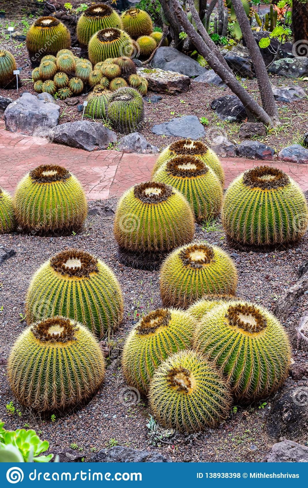 Grown Golden Barrel Cactus in Jardin botanical park, Gran canaria, Spain