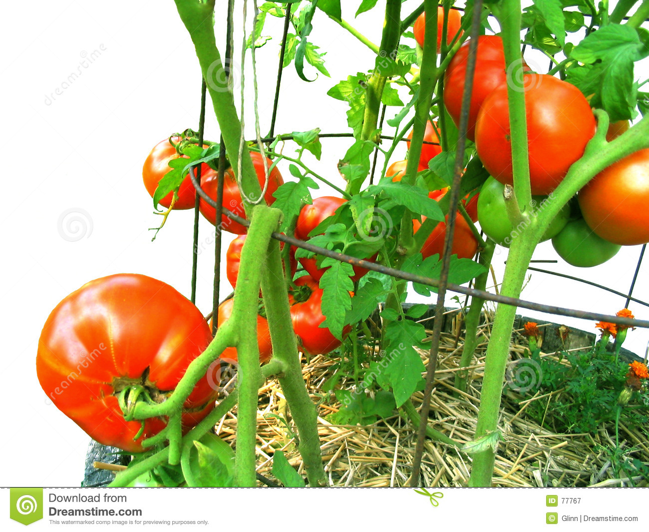 Grown home ripened tomatoes vine