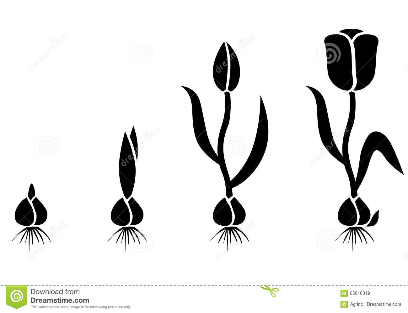 growth cycle tulip stock vector image of illustration