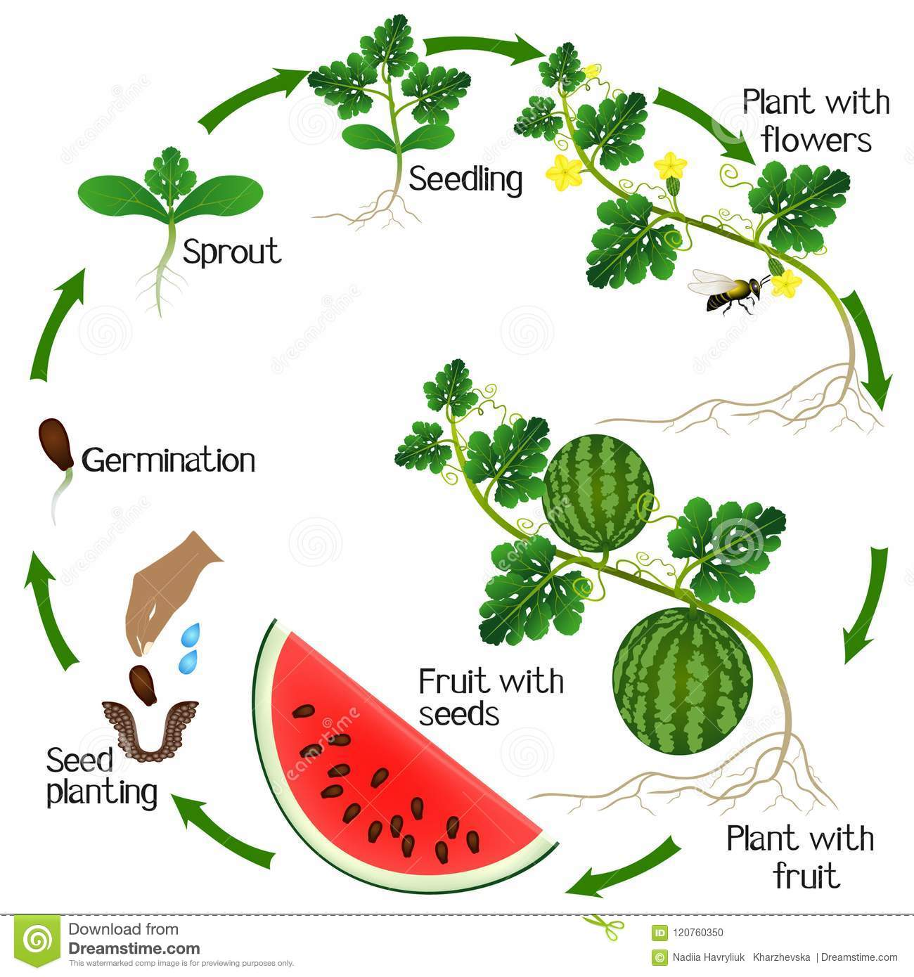 A Growth Cycle Of A Watermelon Plant On A White Background ...